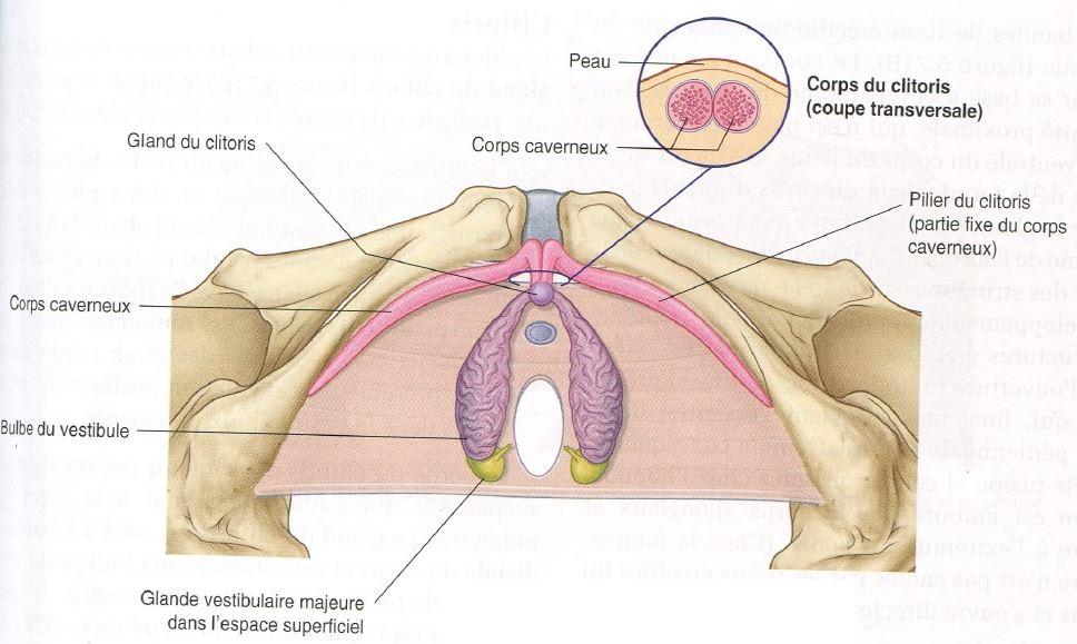 planche anatomique clitoris biologie svt coupe transversalle clitoris bulbe