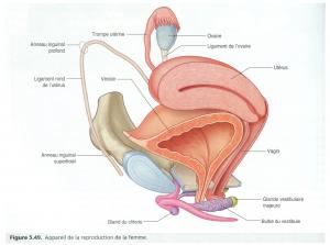 clitoris vagin ovaires pubis utérus