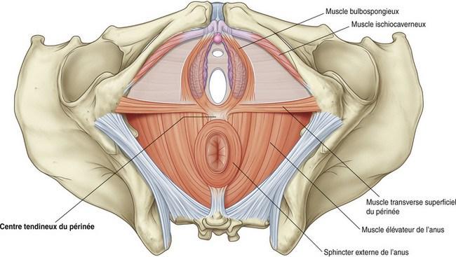 planche anatomie re muscler le périnée rééducation périnéale sexualité épanouie